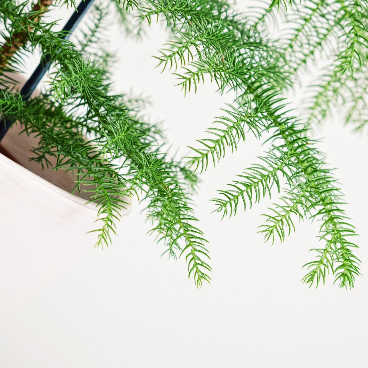 kamerden mini kerstboom kamerplant