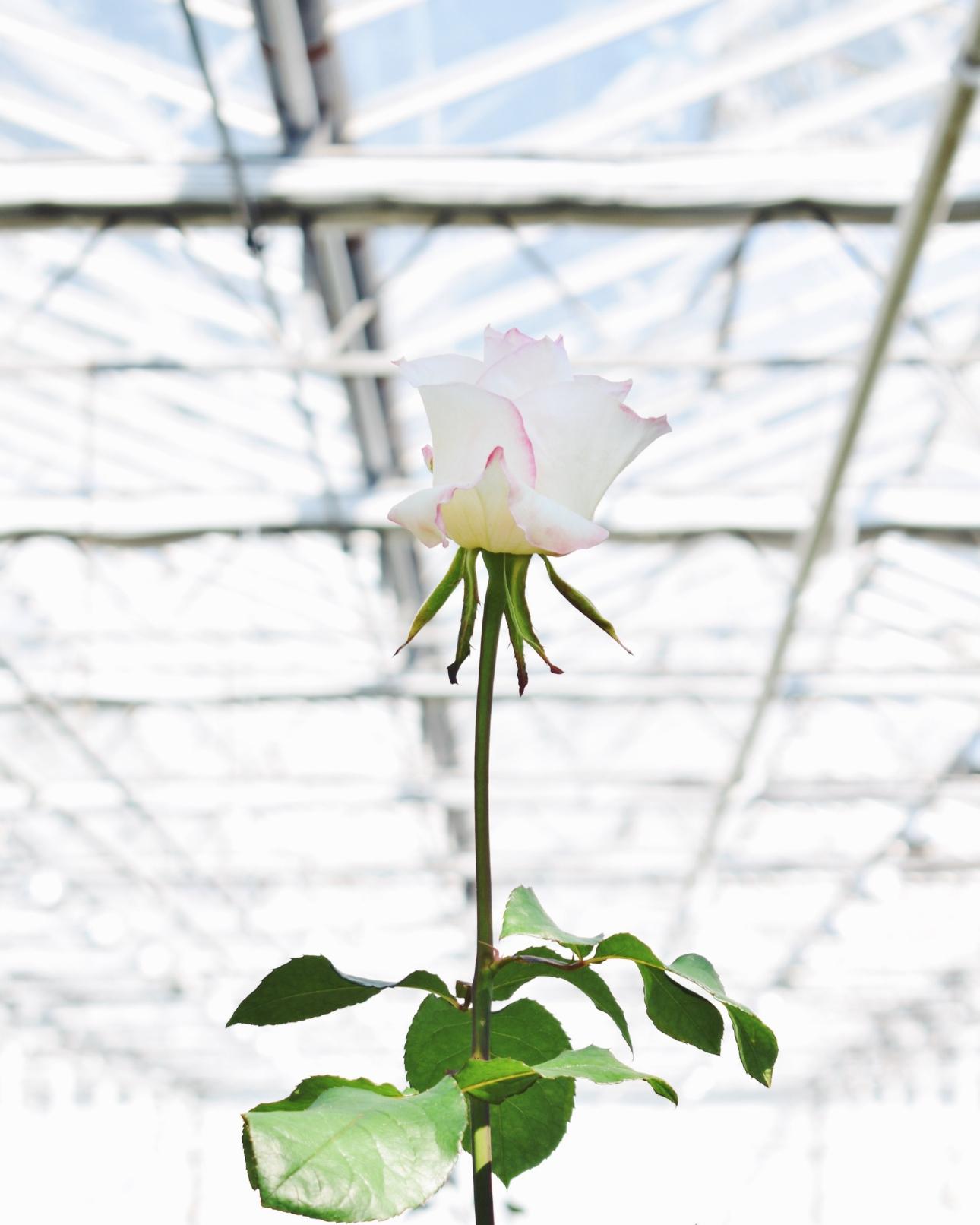 kom in de kas rozen lange roos
