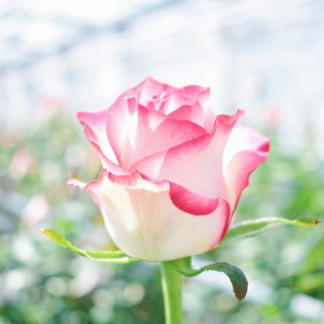kom in de kas rozen wit roze